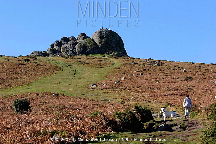 Haytor with dog walker, a landmark and popular tourist attraction Dartmoor National Park, Devon UK  -  Michael Hutchinson/ npl
