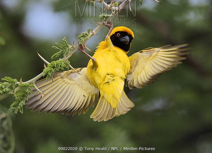 Masked-Weaver (Ploceus velatus) male displaying to attract female, Etosha National Park, Namibia  -  Tony Heald/ npl