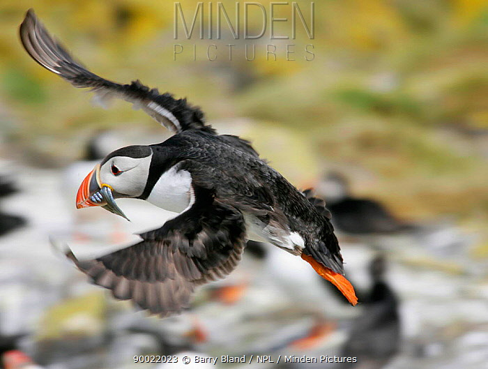 Atlantic Puffin (Fratercula arctica) in flight with Sandeels in beak, Farne Isands, Northumberland, United Kingdom  -  Barry Bland/ npl