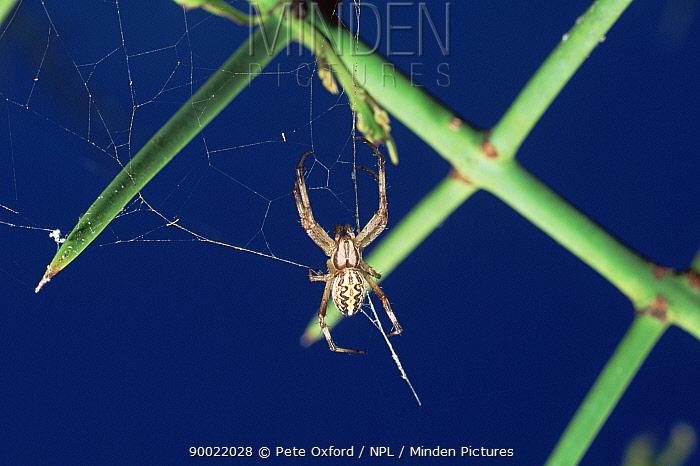 Orb web spider (Neoscona cookoni) on web, Galapagos  -  Pete Oxford/ npl