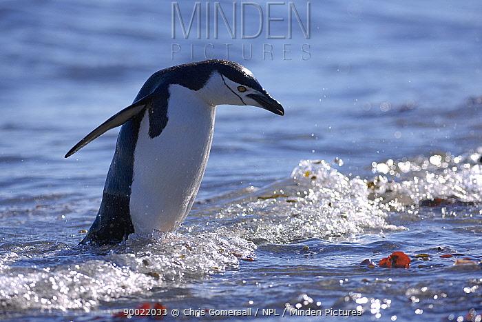 Chinstrap Penguin (Pygoscelis antarctica) coming ashore Aitcho Islands, Antarctica  -  Chris Gomersall/ npl