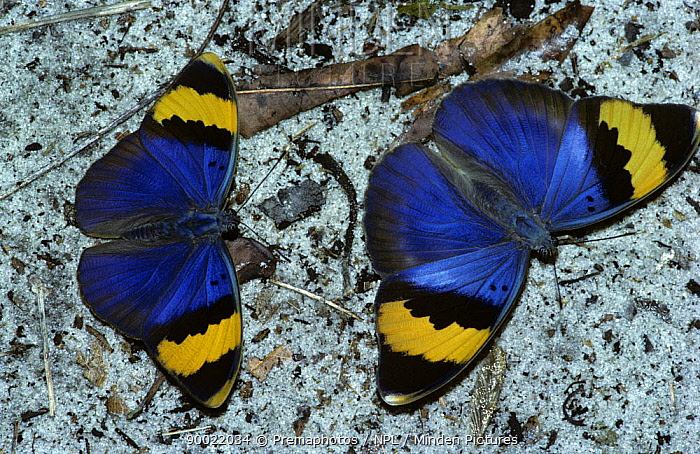 Gold-banded forester butterfly (Euphaedra neophron) male (left) courting female, in tropical dry forest, Kenya  -  Premaphotos/ npl