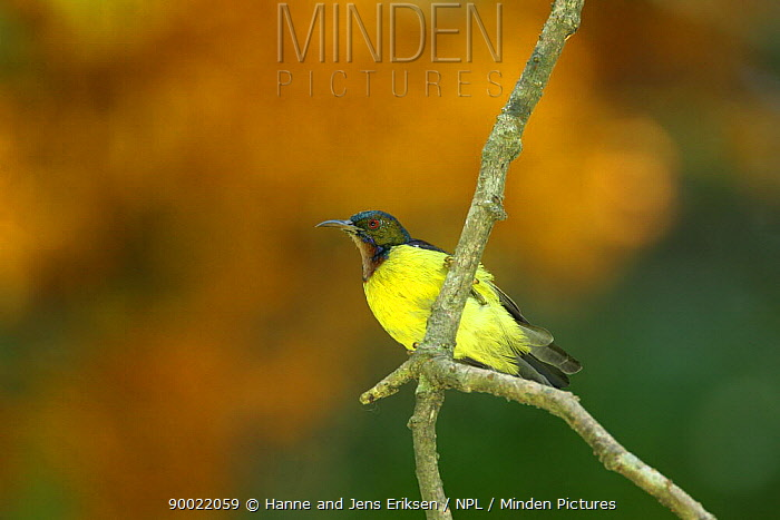Plain throated sunbird (Anthreptes malacensis) Bogor, Java, Indonesia  -  Hanne & Jens Eriksen/ npl