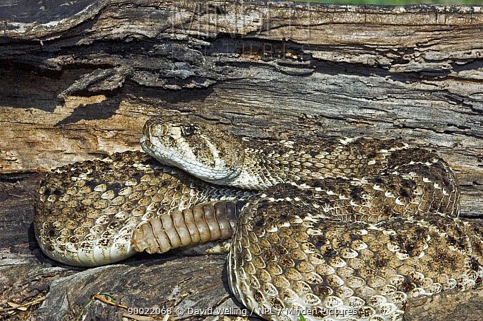 Western Diamondback Rattlesnake (Crotalus atrox), Rio Grande Valley, Texas  -  David Welling/ npl