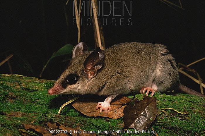 Opossum mouse (Marmosa incana) atlantic rainforest, E Brazil  -  Luiz Claudio Marigo/ npl