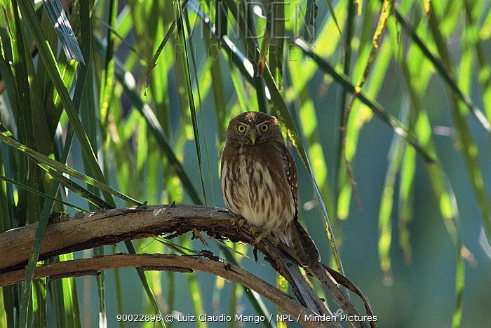 Ferruginous Pygmy Owl (Glaucidium brasilianum) Beni, Bolivia  -  Luiz Claudio Marigo/ npl