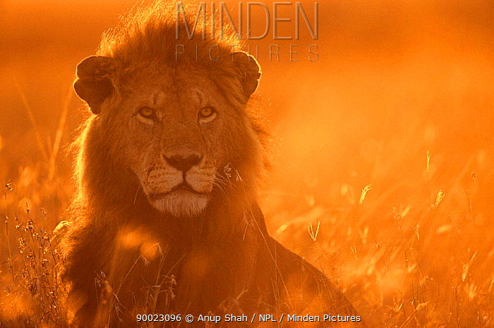 African Lion (Panthera leo) male at sunrise, Masai mara reserve, Kenya  -  Anup Shah/ npl