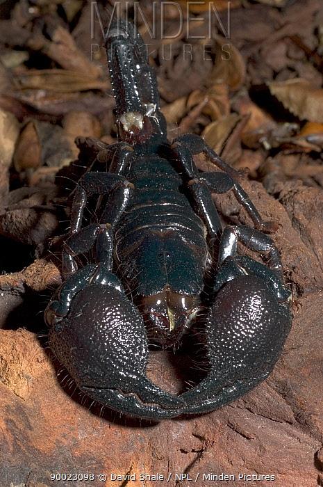 Emperor Scorpion (Pandinus imperator) the world's largest scorpion  -  David Shale/ npl