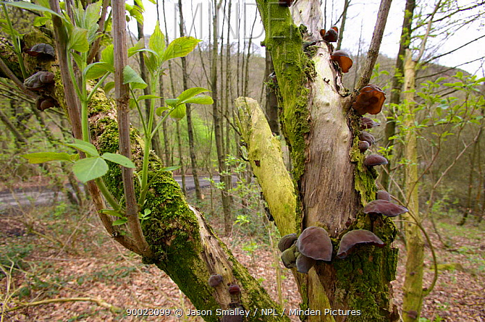 Jelly Ear, Jews's Ear fungus (Auricularia auricula judae) on Elder in woodland, UK  -  Jason Smalley/ npl
