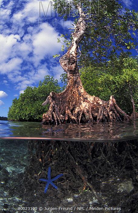 Mangrove tree with Blue starfish (Linckia laevigata)  -  Jurgen Freund/ npl