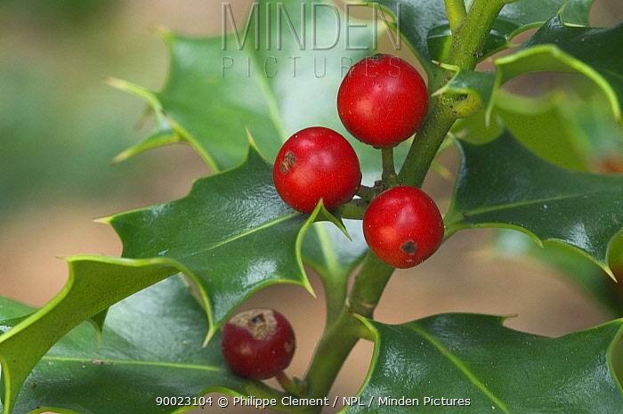Holly leaves and berries (Ilex aquifolium) Belgium  -  Philippe Clement/ npl
