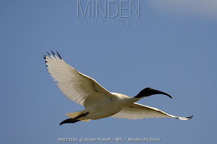 Australian Ibis (Threskiornis molucca) flying, Victoria, Australia  -  Roger Powell/ npl