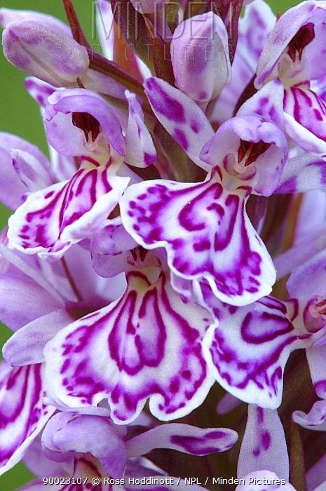 Heath Spotted Orchid (Dactylorhiza maculata) flowers Devon, United Kingdom  -  Ross Hoddinott/ npl
