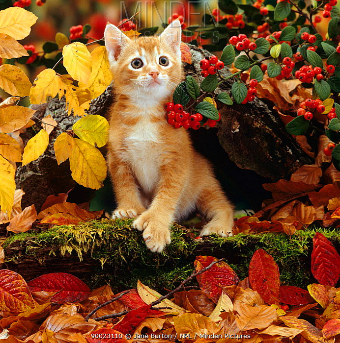 Domestic Cat (Felis catus) Ginger kitten among autumn leaves and Cotoneaster berries  -  Jane Burton/ npl