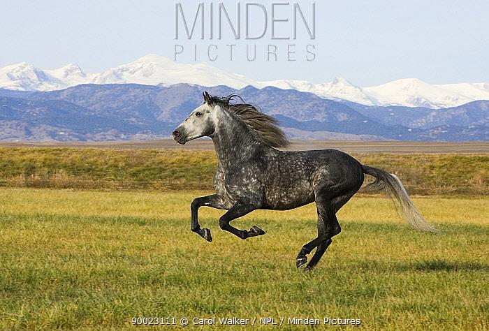 Gray Andalusian Stallion (Equus caballus) cantering profile, Longmont, Colorado, USA  -  Carol Walker/ npl