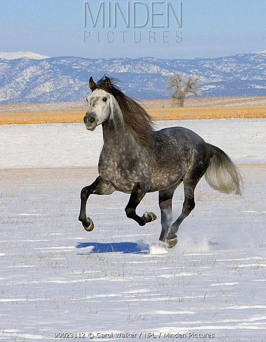 Gray Andalusian Stallion (Equus caballus) cantering in snow, Longmont, Colorado, USA  -  Carol Walker/ npl