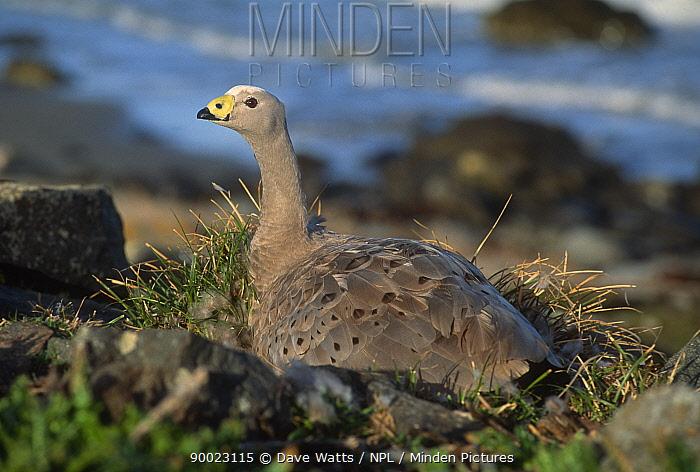 Cape Barren Goose (Cereopsis novaehollandiae) adult on nest, Maria Island, Tasmania, Australia  -  Dave Watts/ npl