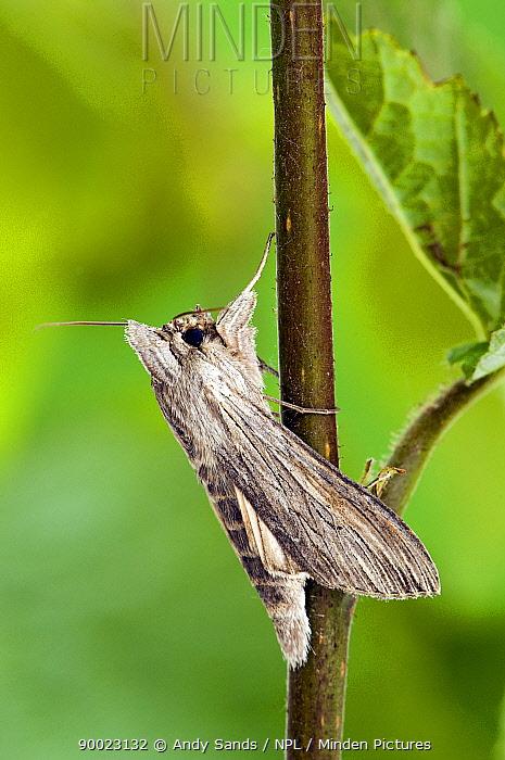 Shark moth (Cucullia umbratica) at rest wings closed UK Captive  -  Andy Sands/ npl