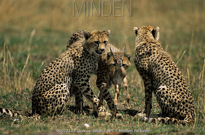 Cheetah (Acinonyx jubatus) cubs with Thomson gazelle fawn prey, which their mother has caught and maimed and they will now kill, Masai Mara GR, Kenya  -  Anup Shah/ npl