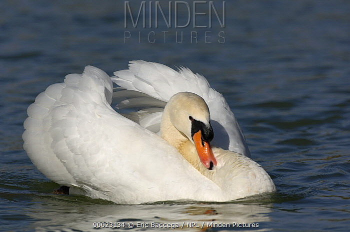 Mute Swan (Cygnus olor), male in an agressive posture on water, Marne, France  -  Eric Baccega/ npl