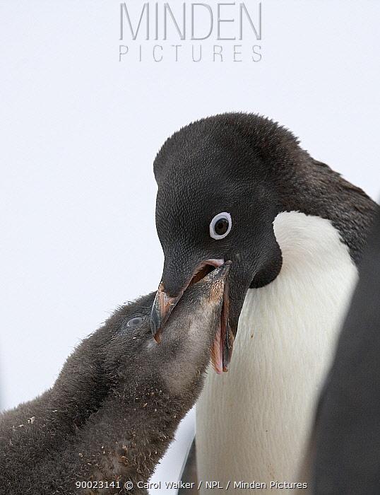 Adelie Penguin (Pygoscelis adeliae), adult feeding chick Paulet Island, Antarctica  -  Carol Walker/ npl