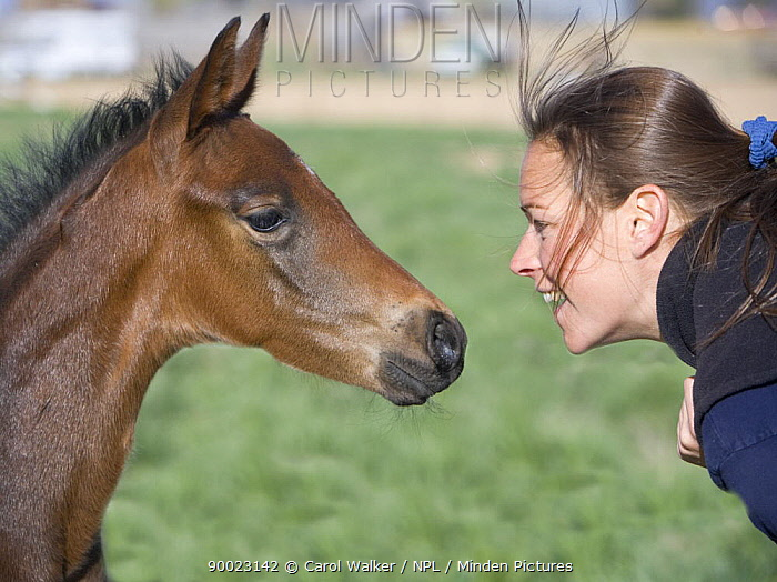 Woman face to face with Bay Oldenburg filly (Equus caballus) Fort Collins, Colorado Model released  -  Carol Walker/ npl