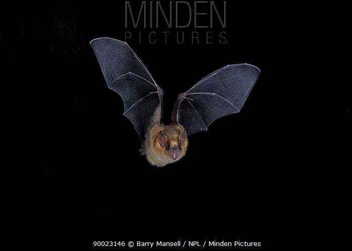 Long-tongued Bat (Glossophaga soricina) in flight, Sabinas, Mexico  -  Barry Mansell/ npl
