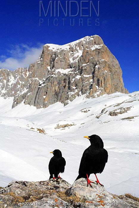 Yellow-billed Chough (Pyrrhocorax graculus) on snow, note ring on leg, Picos de Europa, Cantabria, Spain  -  Jose B. Ruiz/ npl