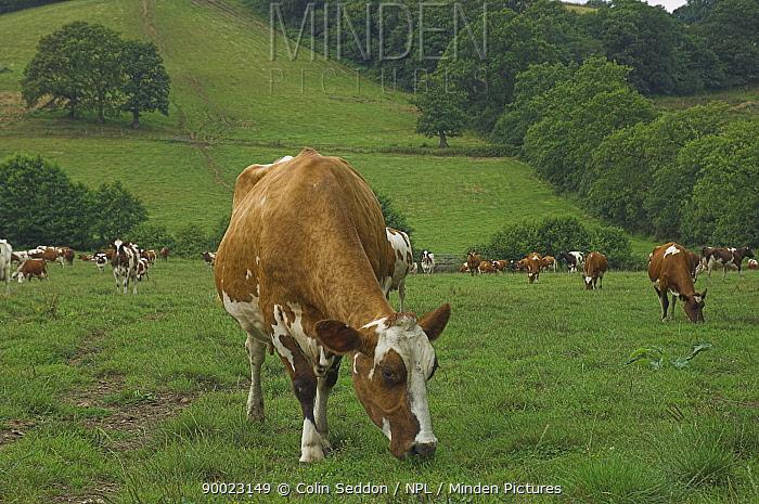 Ayrshire cows (Bos taurus) herd grazing in fields, UK  -  Colin Seddon/ npl