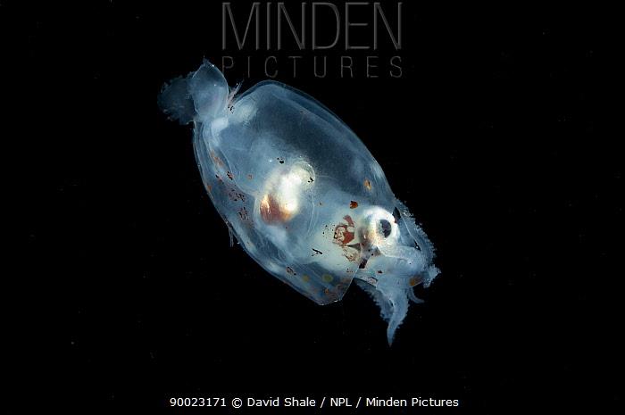 Deep sea squid (Gonatus steenstrupi) from the Mid-Atlantic Ridge, 100-150m at night,  -  David Shale/ npl