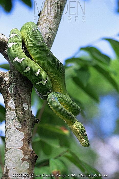 Emerald tree boa (Corallus canina) flooded forest, Amazonas, Brazil  -  Luiz Claudio Marigo/ npl