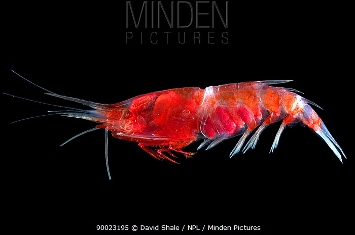 Deepsea shrimp (Oplophorus sp) decapod crustacean found in mid-water, deep sea Atlantic ocean  -  David Shale/ npl