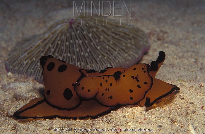 Side gilled slug (Berthella martensi) Indo-Pacific  -  Jurgen Freund/ npl