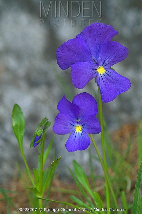 Viola flower (Viola calcarata) Gran Paradiso NP, Alps, Italy  -  Philippe Clement/ npl