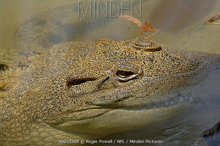 Saltwater Crocodile (Crocodylus porosus) close-up in shallow water Queensland, Australia  -  Roger Powell/ npl
