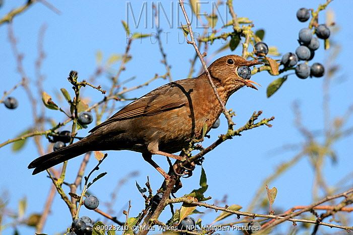 Eurasian Blackbird (Turdus merula) female perching on Blackthorn (Prunus spinosa) eating Sloe berries, Warwickshire, United Kingdom  -  Mike Wilkes/ npl