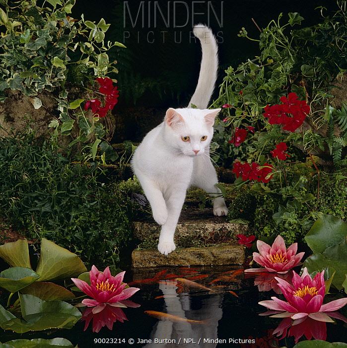 Domestic Cat (Felis catus)White Domestic Cat watching Goldfish in garden pond  -  Jane Burton/ npl