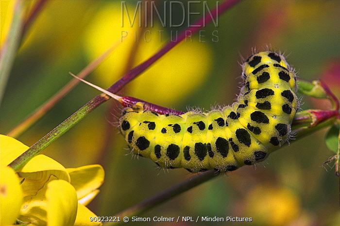 Caterpillar of Five-spot Burnet moth (Zygaena trifolii)  -  Simon Colmer/ npl