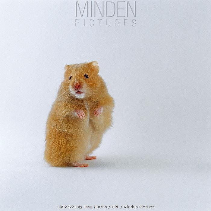 Golden Hamster (Mesocricetus auratus) standing on hind legs  -  Jane Burton/ npl