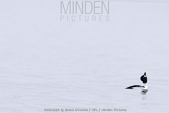 Common Goldeneye (Bucephala clangula) male displaying on open water, Baltic sea, Germany  -  Bruno D'amicis/ npl