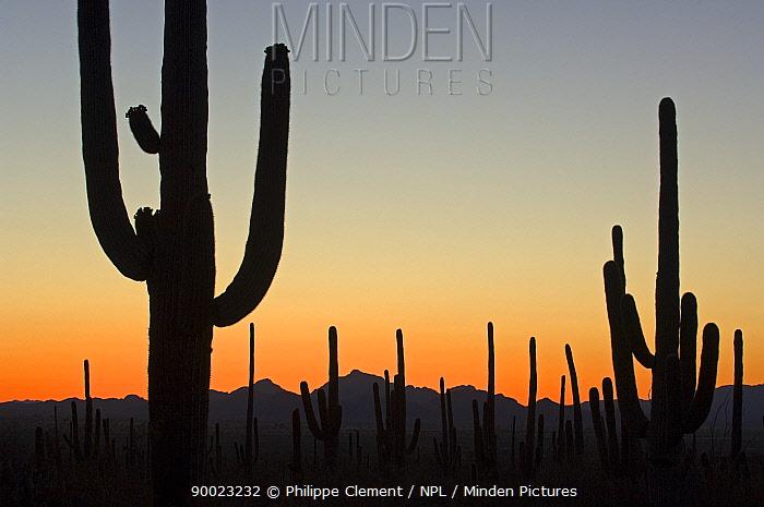 Saguaro (Carnegiea gigantea) at sunset in Saguaro National Park, Arizona  -  Philippe Clement/ npl