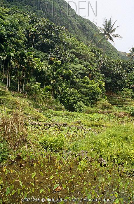 Water taro (Colocasa esculenta) paddy fields, Betel nut (Areca catechu) and Coconut (Cocos nucifera) palms on coastal fringe of Orchid Island, Taiwan  -  Nick Upton/ npl
