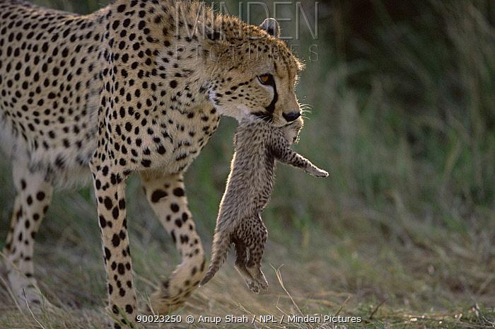 Cheetah (Acinonyx jubatus) carrying young in its mouth, Serengeti National Park, Tanzania  -  Anup Shah/ npl