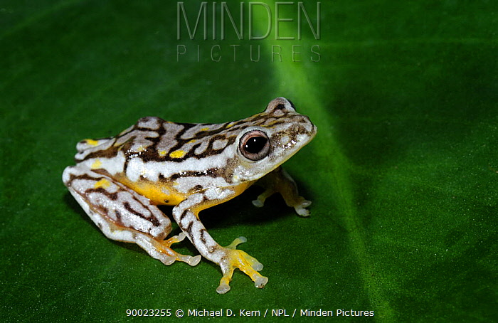 Reed Frog (Hyperolius sp) captive, from south of sahara Africa  -  Michael D. Kern/ npl