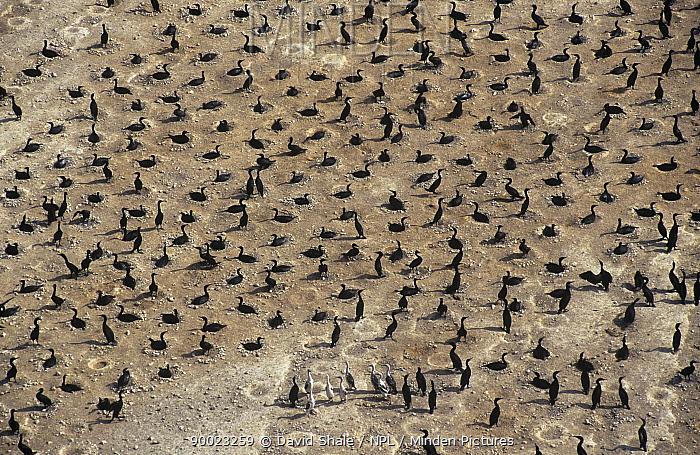 Socotra cormorant (Phalacrocorax nigrogularis) colony on a beach at Hawar Island, Bahrain  -  David Shale/ npl