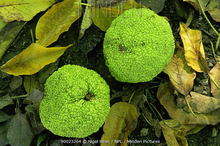 Osage orange (Maclura pomifera) fruit, Missouri botanical garden, USA  -  Nigel Bean/ npl