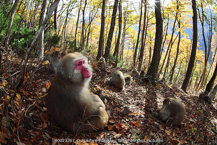 Japanese Macaque (Macaca fuscata) monkeys feeding in autumn woodland, Jigokudani, Nagano, Japan  -  Yukihiro Fukuda/ npl