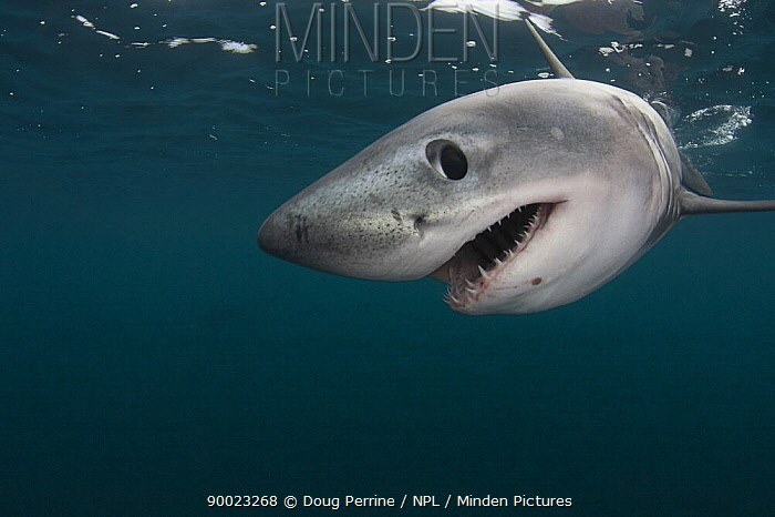 Porbeagle shark (Lamna nasus) captive, Nova Scotia, Canada, image digitally manipulated  -  Doug Perrine/ npl