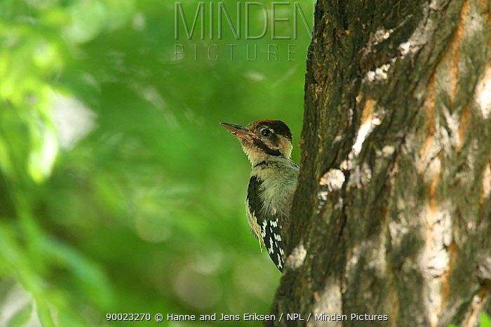 Syrian Woodpecker (Dendrocopos syriacus) on tree trunk, Hungary  -  Hanne & Jens Eriksen/ npl
