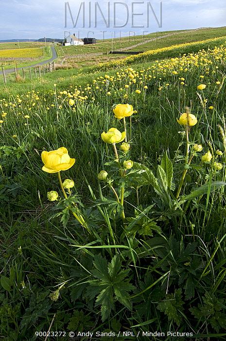 European Globeflower (Trollius europaeus) flowers Upper Teesdale, Co Durham, England United Kingdom  -  Andy Sands/ npl